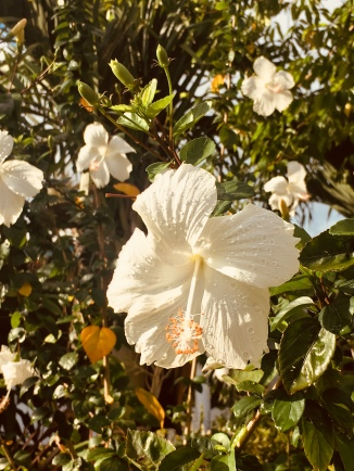 White hibiscus. I thought I was in heaven.